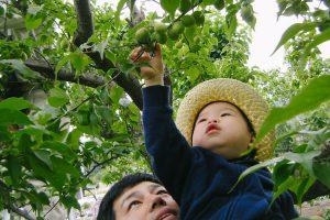 一日限りの仕事体験、蔵人たちと共に梅の実引き上げ作業